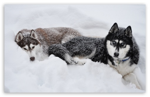 Two Huskies In The Snow HD wallpaper for Wide 16:10 5:3 Widescreen WHXGA WQXGA WUXGA WXGA WGA ; HD 16:9 High Definition WQHD QWXGA 1080p 900p 720p QHD nHD ; Standard 4:3 3:2 Fullscreen UXGA XGA SVGA DVGA HVGA HQVGA devices ( Apple PowerBook G4 iPhone 4 3G 3GS iPod Touch ) ; iPad 1/2/Mini ; Mobile 4:3 5:3 3:2 16:9 - UXGA XGA SVGA WGA DVGA HVGA HQVGA devices ( Apple PowerBook G4 iPhone 4 3G 3GS iPod Touch ) WQHD QWXGA 1080p 900p 720p QHD nHD ; Dual 4:3 5:4 UXGA XGA SVGA QSXGA SXGA ;