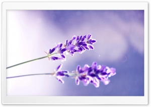 Two Lavender Flowers HD Wide Wallpaper for Widescreen