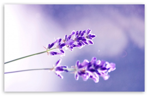 Two Lavender Flowers HD wallpaper for Wide 16:10 5:3 Widescreen WHXGA WQXGA WUXGA WXGA WGA ; HD 16:9 High Definition WQHD QWXGA 1080p 900p 720p QHD nHD ; Standard 4:3 5:4 3:2 Fullscreen UXGA XGA SVGA QSXGA SXGA DVGA HVGA HQVGA devices ( Apple PowerBook G4 iPhone 4 3G 3GS iPod Touch ) ; Tablet 1:1 ; iPad 1/2/Mini ; Mobile 4:3 5:3 3:2 16:9 5:4 - UXGA XGA SVGA WGA DVGA HVGA HQVGA devices ( Apple PowerBook G4 iPhone 4 3G 3GS iPod Touch ) WQHD QWXGA 1080p 900p 720p QHD nHD QSXGA SXGA ; Dual 16:9 4:3 5:4 WQHD QWXGA 1080p 900p 720p QHD nHD UXGA XGA SVGA QSXGA SXGA ;