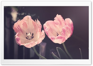 Two Light Pink Tulips Flowers HD Wide Wallpaper for 4K UHD Widescreen desktop & smartphone
