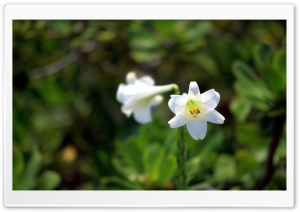 Two Lilies HD Wide Wallpaper for Widescreen