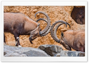 Two Male Ibexes Fighting HD Wide Wallpaper for 4K UHD Widescreen desktop & smartphone