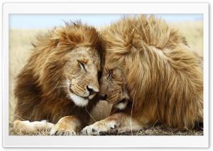Two Male Lions HD Wide Wallpaper for Widescreen