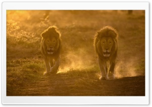 Two Male Lions Habitat HD Wide Wallpaper for Widescreen