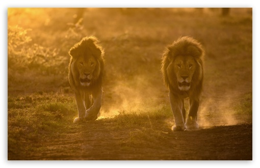 Two Male Lions Habitat ❤ 4K UHD Wallpaper for Wide 16:10 5:3 Widescreen WHXGA WQXGA WUXGA WXGA WGA ; UltraWide 21:9 24:10 ; 4K UHD 16:9 Ultra High Definition 2160p 1440p 1080p 900p 720p ; UHD 16:9 2160p 1440p 1080p 900p 720p ; Standard 4:3 5:4 3:2 Fullscreen UXGA XGA SVGA QSXGA SXGA DVGA HVGA HQVGA ( Apple PowerBook G4 iPhone 4 3G 3GS iPod Touch ) ; Smartphone 16:9 3:2 5:3 2160p 1440p 1080p 900p 720p DVGA HVGA HQVGA ( Apple PowerBook G4 iPhone 4 3G 3GS iPod Touch ) WGA ; Tablet 1:1 ; iPad 1/2/Mini ; Mobile 4:3 5:3 3:2 16:9 5:4 - UXGA XGA SVGA WGA DVGA HVGA HQVGA ( Apple PowerBook G4 iPhone 4 3G 3GS iPod Touch ) 2160p 1440p 1080p 900p 720p QSXGA SXGA ; Dual 4:3 5:4 UXGA XGA SVGA QSXGA SXGA ;