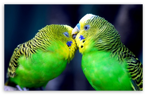Two Parrots HD wallpaper for Wide 16:10 5:3 Widescreen WHXGA WQXGA WUXGA WXGA WGA ; HD 16:9 High Definition WQHD QWXGA 1080p 900p 720p QHD nHD ; Standard 3:2 Fullscreen DVGA HVGA HQVGA devices ( Apple PowerBook G4 iPhone 4 3G 3GS iPod Touch ) ; Mobile 5:3 3:2 16:9 - WGA DVGA HVGA HQVGA devices ( Apple PowerBook G4 iPhone 4 3G 3GS iPod Touch ) WQHD QWXGA 1080p 900p 720p QHD nHD ;