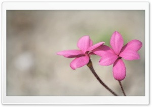 Two Pink Flowers HD Wide Wallpaper for Widescreen