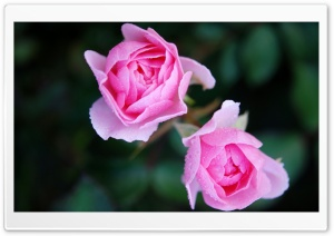 Two Pink Roses HD Wide Wallpaper for Widescreen