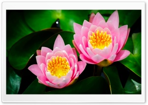 Two Pink Water Lilies HD Wide Wallpaper for 4K UHD Widescreen desktop & smartphone