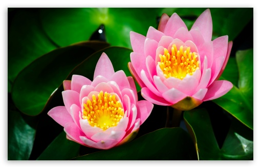 Two Pink Water Lilies HD wallpaper for Wide 16:10 5:3 Widescreen WHXGA WQXGA WUXGA WXGA WGA ; HD 16:9 High Definition WQHD QWXGA 1080p 900p 720p QHD nHD ; Standard 4:3 5:4 3:2 Fullscreen UXGA XGA SVGA QSXGA SXGA DVGA HVGA HQVGA devices ( Apple PowerBook G4 iPhone 4 3G 3GS iPod Touch ) ; iPad 1/2/Mini ; Mobile 4:3 5:3 3:2 16:9 5:4 - UXGA XGA SVGA WGA DVGA HVGA HQVGA devices ( Apple PowerBook G4 iPhone 4 3G 3GS iPod Touch ) WQHD QWXGA 1080p 900p 720p QHD nHD QSXGA SXGA ;