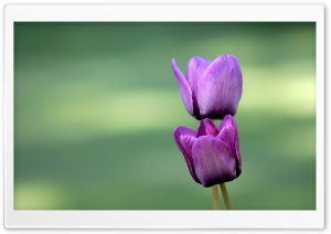 Two Purple Tulips HD Wide Wallpaper for Widescreen