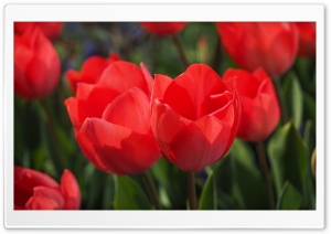 Two Red Tulips HD Wide Wallpaper for Widescreen
