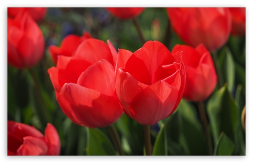 Two Red Tulips ❤ 4K UHD Wallpaper for Wide 16:10 5:3 Widescreen WHXGA WQXGA WUXGA WXGA WGA ; 4K UHD 16:9 Ultra High Definition 2160p 1440p 1080p 900p 720p ; UHD 16:9 2160p 1440p 1080p 900p 720p ; Standard 4:3 5:4 3:2 Fullscreen UXGA XGA SVGA QSXGA SXGA DVGA HVGA HQVGA ( Apple PowerBook G4 iPhone 4 3G 3GS iPod Touch ) ; Smartphone 5:3 WGA ; Tablet 1:1 ; iPad 1/2/Mini ; Mobile 4:3 5:3 3:2 16:9 5:4 - UXGA XGA SVGA WGA DVGA HVGA HQVGA ( Apple PowerBook G4 iPhone 4 3G 3GS iPod Touch ) 2160p 1440p 1080p 900p 720p QSXGA SXGA ; Dual 16:10 5:3 16:9 4:3 5:4 WHXGA WQXGA WUXGA WXGA WGA 2160p 1440p 1080p 900p 720p UXGA XGA SVGA QSXGA SXGA ;