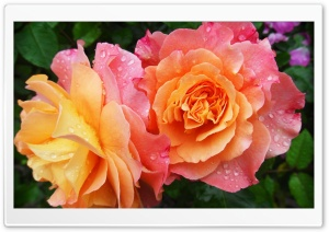 Two Rose HD Wide Wallpaper for Widescreen