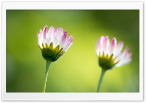 Two Small Daisies, Green Background HD Wide Wallpaper for Widescreen