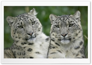 Two Snow Leopard HD Wide Wallpaper for Widescreen