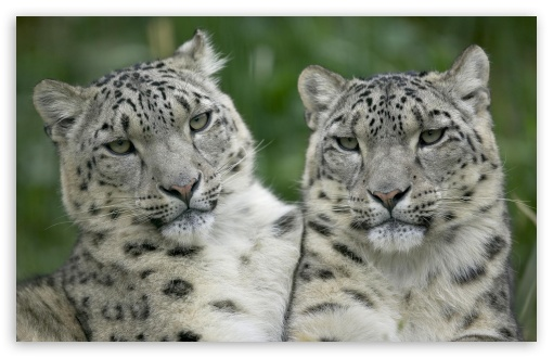 Two Snow Leopard HD wallpaper for Wide 16:10 5:3 Widescreen WHXGA WQXGA WUXGA WXGA WGA ; HD 16:9 High Definition WQHD QWXGA 1080p 900p 720p QHD nHD ; Standard 3:2 Fullscreen DVGA HVGA HQVGA devices ( Apple PowerBook G4 iPhone 4 3G 3GS iPod Touch ) ; Mobile 5:3 3:2 16:9 - WGA DVGA HVGA HQVGA devices ( Apple PowerBook G4 iPhone 4 3G 3GS iPod Touch ) WQHD QWXGA 1080p 900p 720p QHD nHD ;