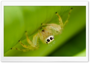 Two-striped Jumper, Jumping Spider Ultra HD Wallpaper for 4K UHD Widescreen desktop, tablet & smartphone