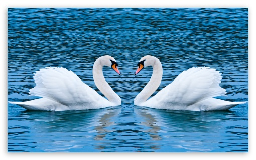 Two Swans ❤ 4K UHD Wallpaper for Wide 5:3 Widescreen WGA ; 4K UHD 16:9 Ultra High Definition 2160p 1440p 1080p 900p 720p ; UHD 16:9 2160p 1440p 1080p 900p 720p ; Mobile 5:3 16:9 - WGA 2160p 1440p 1080p 900p 720p ; Dual 16:10 5:3 16:9 4:3 5:4 WHXGA WQXGA WUXGA WXGA WGA 2160p 1440p 1080p 900p 720p UXGA XGA SVGA QSXGA SXGA ;