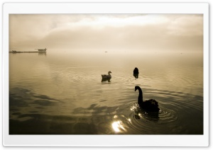 Two Swans And A Goose HD Wide Wallpaper for Widescreen