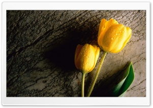 Two Wet Yellow Flower HD Wide Wallpaper for Widescreen