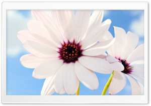 Two White Daisies HD Wide Wallpaper for Widescreen