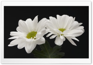 Two White Flowers HD Wide Wallpaper for Widescreen