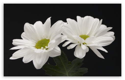 Two White Flowers ❤ 4K UHD Wallpaper for Wide 16:10 5:3 Widescreen WHXGA WQXGA WUXGA WXGA WGA ; 4K UHD 16:9 Ultra High Definition 2160p 1440p 1080p 900p 720p ; Standard 4:3 5:4 3:2 Fullscreen UXGA XGA SVGA QSXGA SXGA DVGA HVGA HQVGA ( Apple PowerBook G4 iPhone 4 3G 3GS iPod Touch ) ; Tablet 1:1 ; iPad 1/2/Mini ; Mobile 4:3 5:3 3:2 16:9 5:4 - UXGA XGA SVGA WGA DVGA HVGA HQVGA ( Apple PowerBook G4 iPhone 4 3G 3GS iPod Touch ) 2160p 1440p 1080p 900p 720p QSXGA SXGA ; Dual 5:4 QSXGA SXGA ;