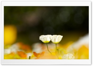 Two White Poppy Flowers HD Wide Wallpaper for Widescreen