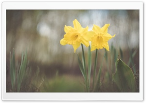 Two Yellow Daffodils Flowers HD Wide Wallpaper for Widescreen