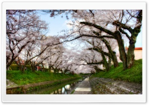 Under Sakura Trees HD Wide Wallpaper for Widescreen