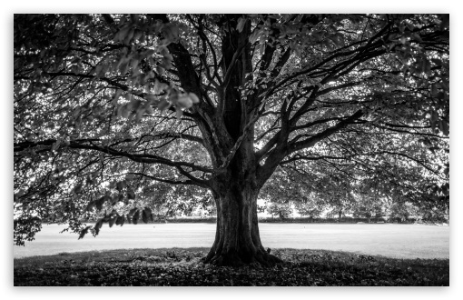 Download under the tree black and white hd wallpaper