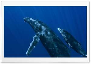 Underwater Whales HD Wide Wallpaper for 4K UHD Widescreen desktop & smartphone