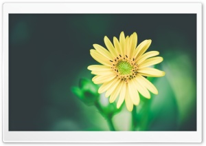 Unsaturated Yellow Flower HD Wide Wallpaper for Widescreen