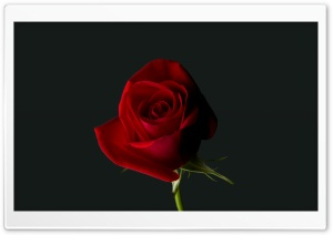 Valentine Rose HD Wide Wallpaper for Widescreen