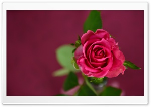 Valentines Day Pink Rose HD Wide Wallpaper for Widescreen
