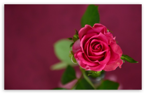Valentines Day Pink Rose ❤ 4K UHD Wallpaper for Wide 16:10 5:3 Widescreen WHXGA WQXGA WUXGA WXGA WGA ; 4K UHD 16:9 Ultra High Definition 2160p 1440p 1080p 900p 720p ; UHD 16:9 2160p 1440p 1080p 900p 720p ; Standard 4:3 5:4 3:2 Fullscreen UXGA XGA SVGA QSXGA SXGA DVGA HVGA HQVGA ( Apple PowerBook G4 iPhone 4 3G 3GS iPod Touch ) ; Smartphone 5:3 WGA ; Tablet 1:1 ; iPad 1/2/Mini ; Mobile 4:3 5:3 3:2 16:9 5:4 - UXGA XGA SVGA WGA DVGA HVGA HQVGA ( Apple PowerBook G4 iPhone 4 3G 3GS iPod Touch ) 2160p 1440p 1080p 900p 720p QSXGA SXGA ; Dual 4:3 5:4 UXGA XGA SVGA QSXGA SXGA ;