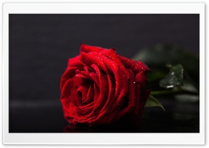 Valentines Day Red Rose HD Wide Wallpaper for Widescreen