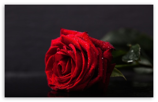 Valentines Day Red Rose ❤ 4K UHD Wallpaper for Wide 16:10 5:3 Widescreen WHXGA WQXGA WUXGA WXGA WGA ; 4K UHD 16:9 Ultra High Definition 2160p 1440p 1080p 900p 720p ; Standard 4:3 5:4 3:2 Fullscreen UXGA XGA SVGA QSXGA SXGA DVGA HVGA HQVGA ( Apple PowerBook G4 iPhone 4 3G 3GS iPod Touch ) ; Smartphone 5:3 WGA ; Tablet 1:1 ; iPad 1/2/Mini ; Mobile 4:3 5:3 3:2 16:9 5:4 - UXGA XGA SVGA WGA DVGA HVGA HQVGA ( Apple PowerBook G4 iPhone 4 3G 3GS iPod Touch ) 2160p 1440p 1080p 900p 720p QSXGA SXGA ;