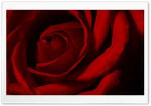 Valentines Day Rose HD Wide Wallpaper for Widescreen