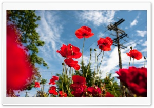 Vancouver Poppies HD Wide Wallpaper for Widescreen