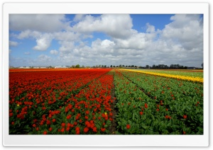 Vast Tulips Field HD Wide Wallpaper for Widescreen