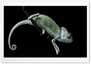 Veiled Chameleon, Old World Lizards HD Wide Wallpaper for Widescreen