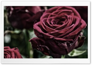 Velvet Rose HD Wide Wallpaper for Widescreen