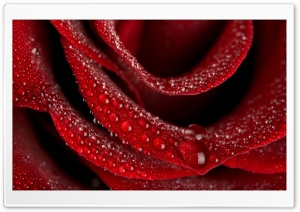 Velvety Rose HD Wide Wallpaper for Widescreen