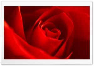Very Beautiful Red Rose Flower HD Wide Wallpaper for Widescreen