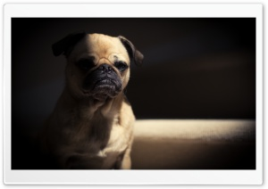 Very Sad Pug Dog HD Wide Wallpaper for 4K UHD Widescreen desktop & smartphone