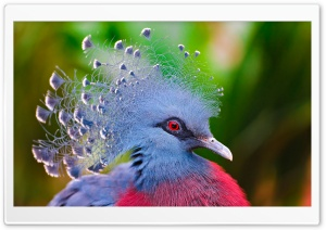 Victoria Crowned Pigeon HD Wide Wallpaper for Widescreen