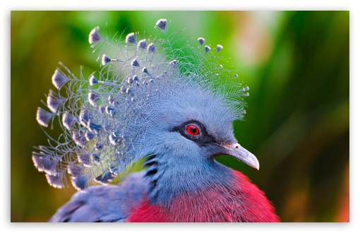 Victoria Crowned Pigeon ❤ 4K UHD Wallpaper for Wide 16:10 5:3 Widescreen WHXGA WQXGA WUXGA WXGA WGA ; 4K UHD 16:9 Ultra High Definition 2160p 1440p 1080p 900p 720p ; Standard 4:3 5:4 3:2 Fullscreen UXGA XGA SVGA QSXGA SXGA DVGA HVGA HQVGA ( Apple PowerBook G4 iPhone 4 3G 3GS iPod Touch ) ; iPad 1/2/Mini ; Mobile 4:3 5:3 3:2 16:9 5:4 - UXGA XGA SVGA WGA DVGA HVGA HQVGA ( Apple PowerBook G4 iPhone 4 3G 3GS iPod Touch ) 2160p 1440p 1080p 900p 720p QSXGA SXGA ;