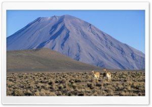 Vicuna Vicugna Vicugna Pair With Misti Volcano In The Background Peru HD Wide Wallpaper for Widescreen